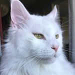 Morris the Maine Coon instagram